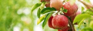Alpine Cardiology Apple Orchard